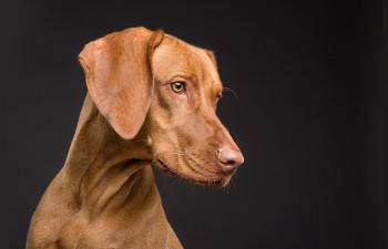 Displazia de șold la câini - simptome, cauze, tratamente și prevenire